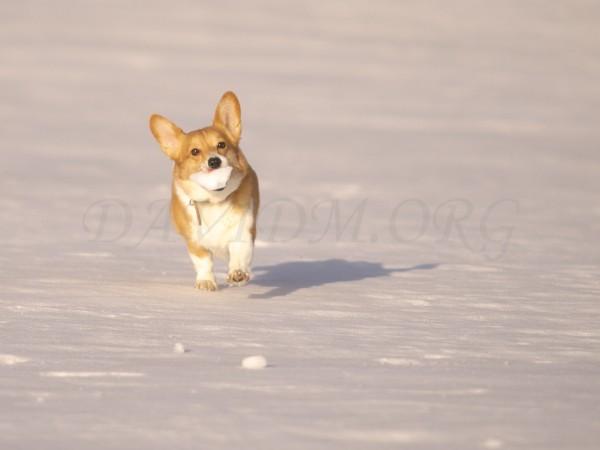 雪玉を咥えたコーギーの写真