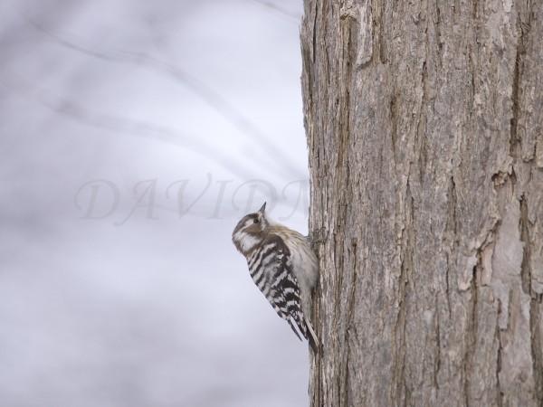木にとまったコゲラの写真