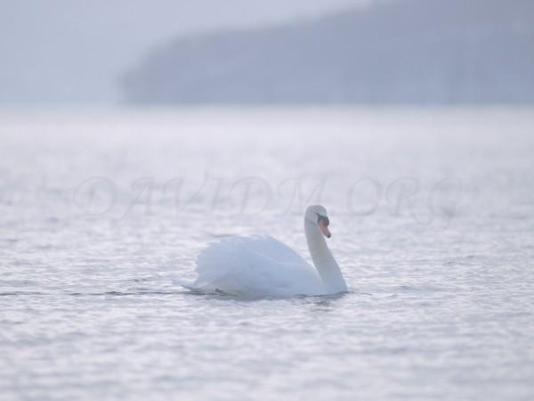 洞爺湖を泳ぐ白鳥の写真