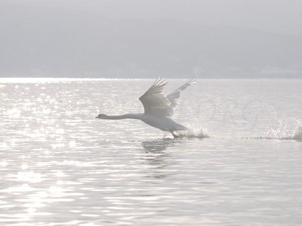 朝の洞爺湖、飛び立つ白鳥の写真