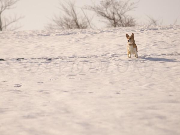 雪原に立つコーギーの写真