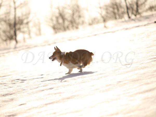 走るコーギーの写真