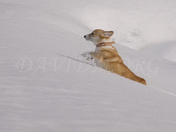 深い雪を漕ぐコーギーのアーサーの写真