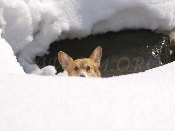 雪の壁を登るコーギーの写真