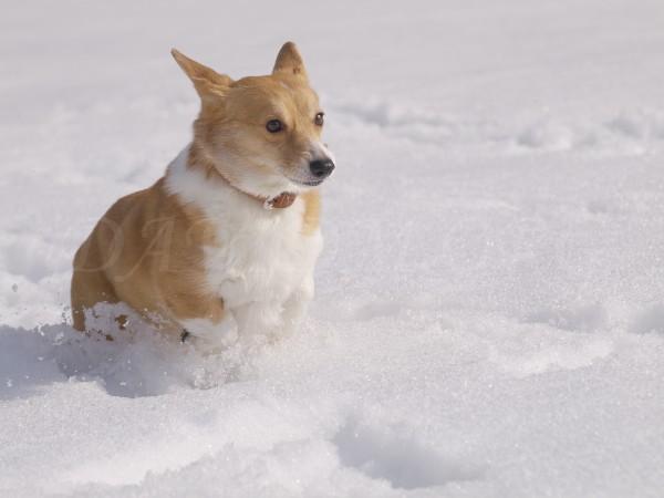 雪の中走るコーギーの写真