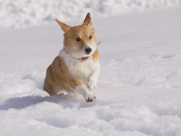 雪が大好きなコーギーの写真