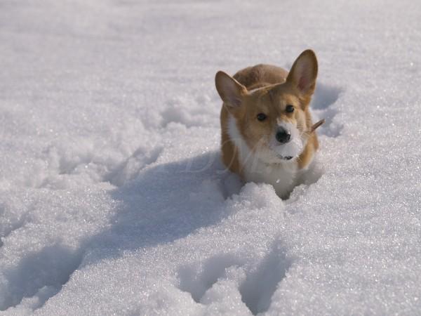 雪玉を咥えるケリー
