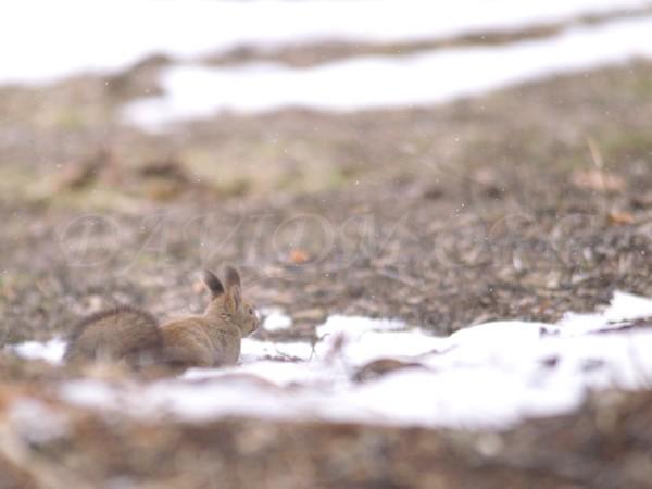 うずくまるエゾリスの写真