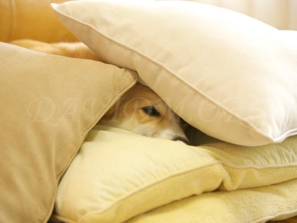 寝に入るコーギーの写真