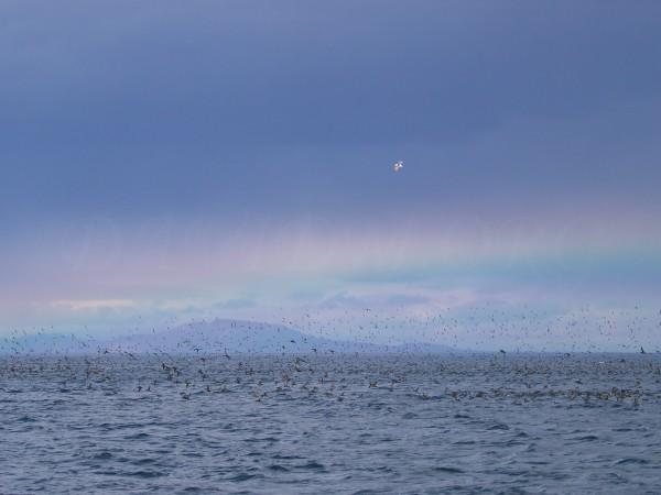 虹とミズナギドリの写真