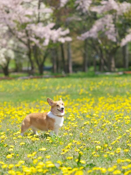 桜とコーギーの写真