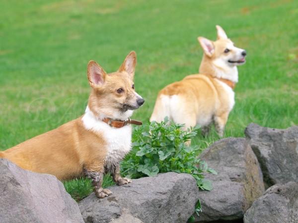 野良犬と飼犬コーギー