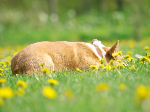 ひと眠りするコーギーのケリー