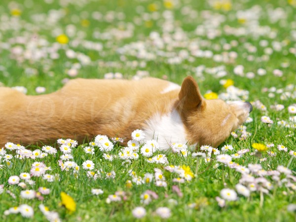 花畑で寝るケリー