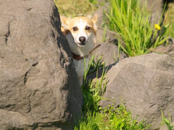 岩陰から覗くコーギー