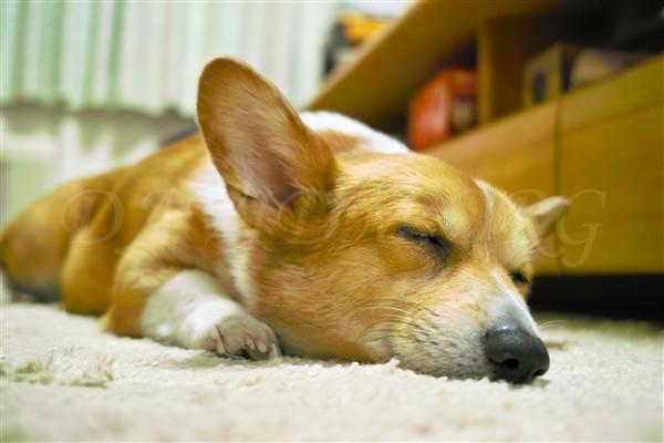 コーギーのケリーの寝顔