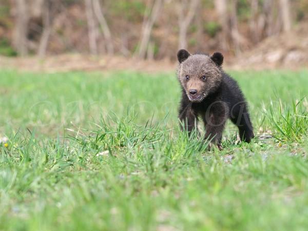 ヒグマの子熊の写真