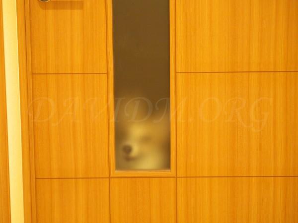 コーギーのアーサーの写真