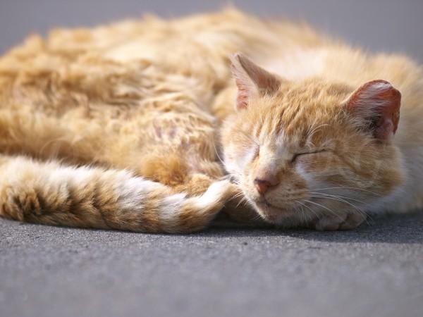 熟睡するネコの写真