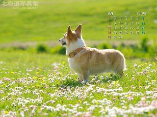 8月の壁紙カレンダー:花の絨毯とコーギー