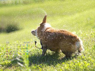 9月の壁紙カレンダー:水遊びの後のコーギー