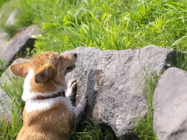 岩に登り始めるコーギー