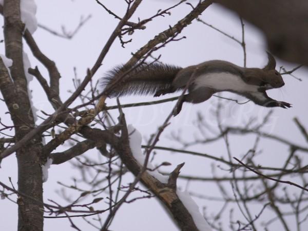 枝から枝へ飛ぶエゾリス