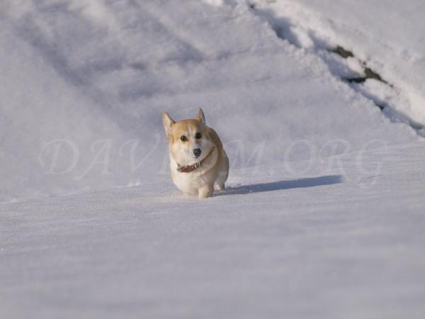 雪とコーギーのアーサーの写真
