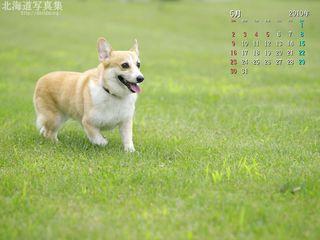 5月の壁紙カレンダー: 芝生を歩くコーギー