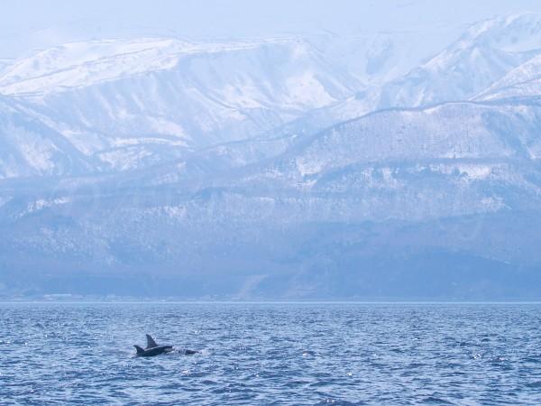 シャチと知床連山の写真