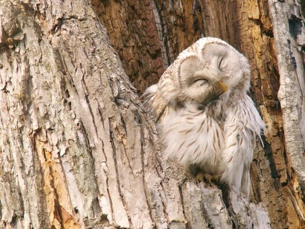 エゾフクロウの毛づくろい