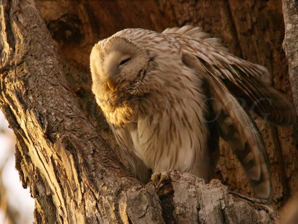 羽を伸ばすエゾフクロウ