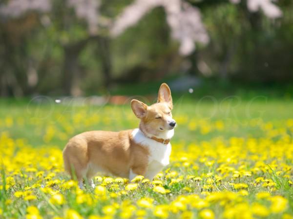 舞い散る桜とコーギーの写真
