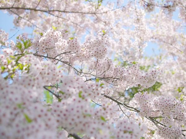 見事に咲く桜の写真