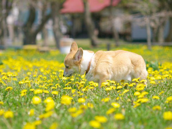 草を食べるコーギー