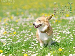6月の壁紙カレンダー:花に囲まれたコーギー
