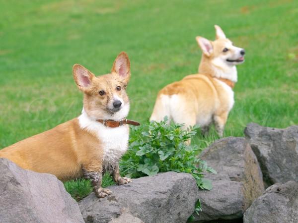 野良犬コーギーの写真