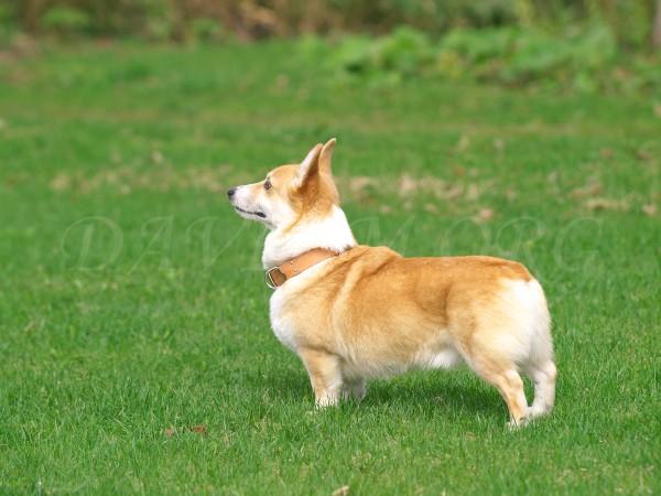 飼犬のアーサー