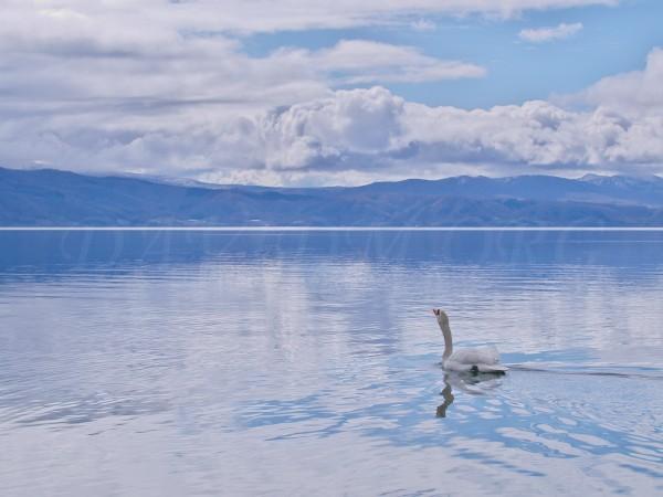 洞爺湖の白鳥の写真