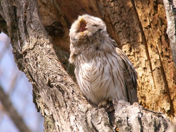 エゾフクロウのあくび