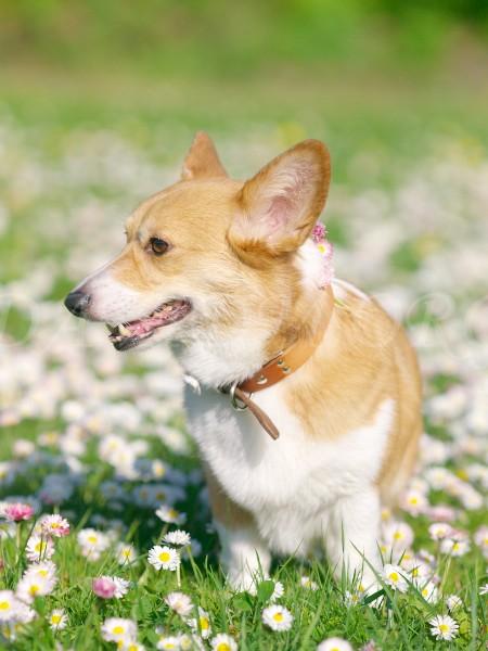 花飾りを見せるコーギーのケリー