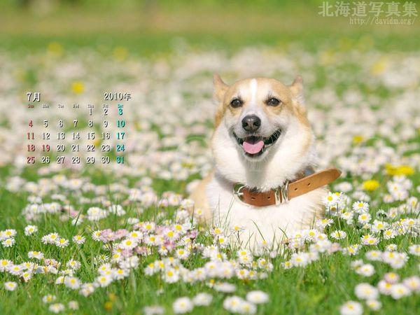 7月の壁紙カレンダー:お花畑のコーギー