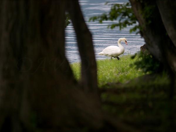 洞爺湖畔の白鳥