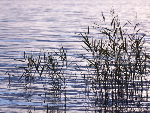 洞爺湖の葦の写真