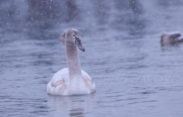 洞爺湖の子白鳥の写真
