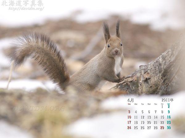 4月の壁紙カレンダー: 雪解けとエゾリス