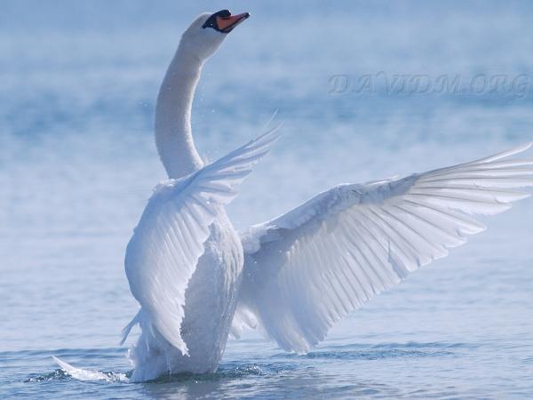 光を受ける白鳥の羽
