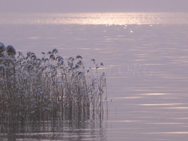 洞爺湖の葦