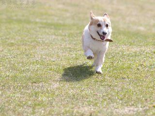 今月の壁紙: 春の公園で走るコーギー