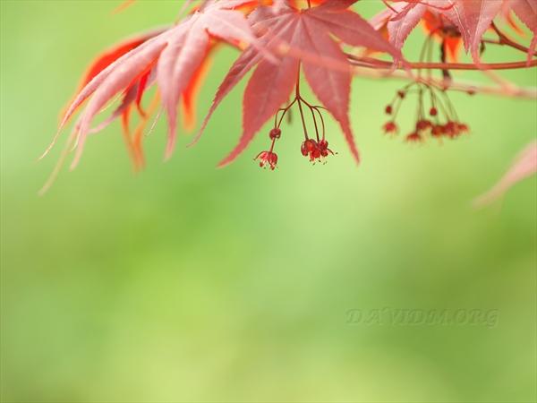 春紅葉の楓の花